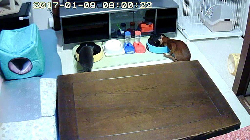 落ち着いて食べる猫たち。