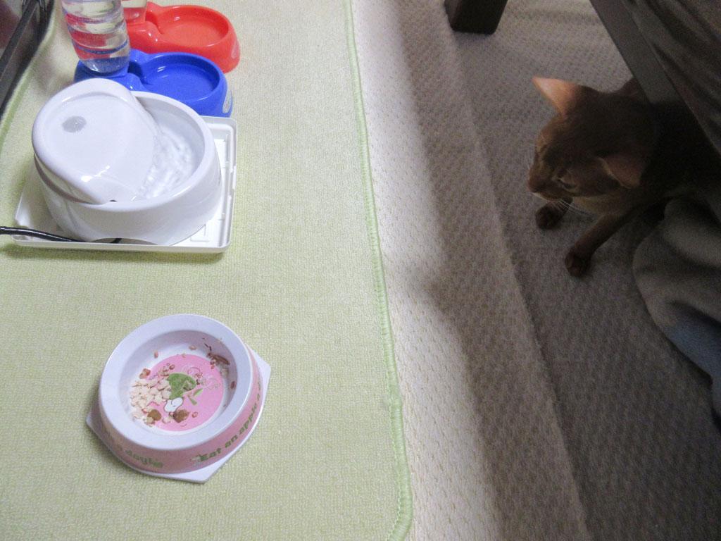 ロシ子の残飯を狙うアビのすけ。