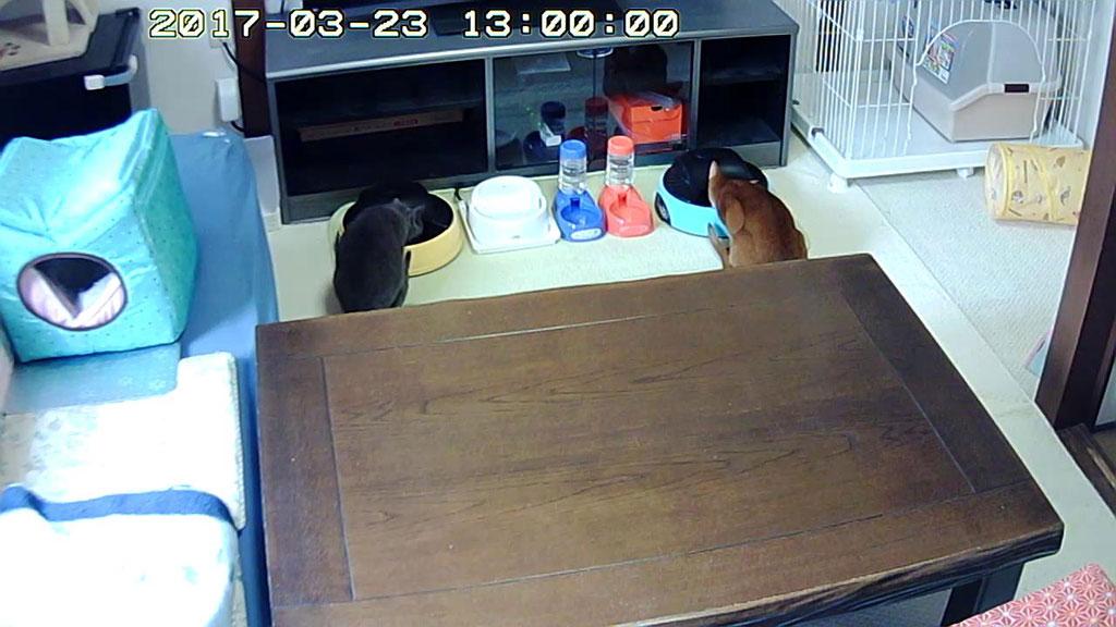 昨日の猫たちのお昼ご飯の様子。