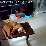 寝ているアビのすけ。