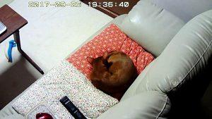 こてっと寝たアビのすけ君。