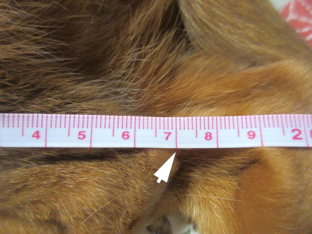 アビのすけの足の長さは17cm。