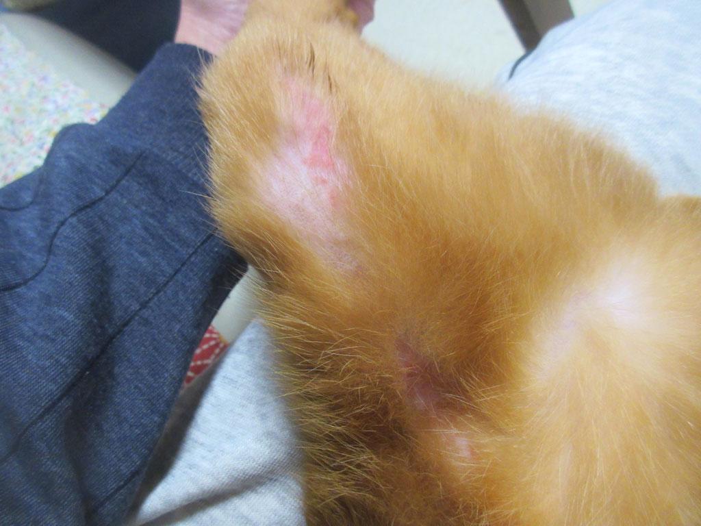 あびのすけの2ヶ所の皮膚炎。