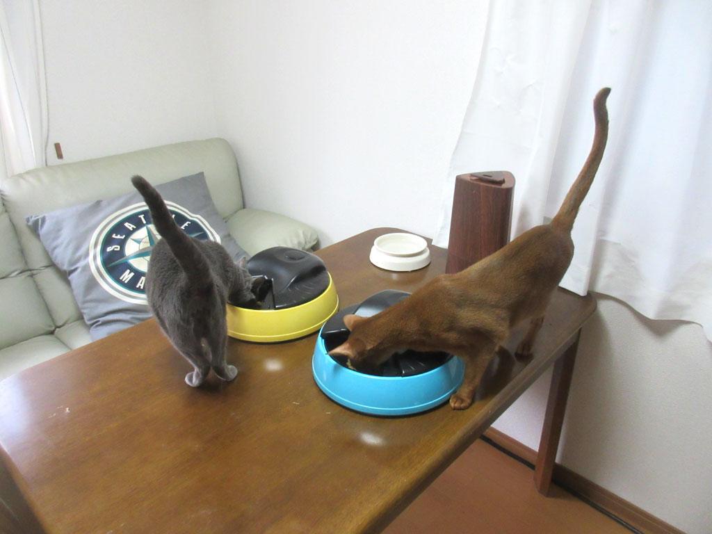 ご飯を食べ始めた猫たち。