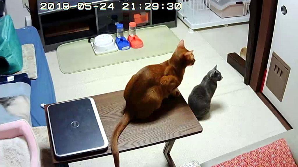 ご飯待ちのロシ子とアビのすけ。