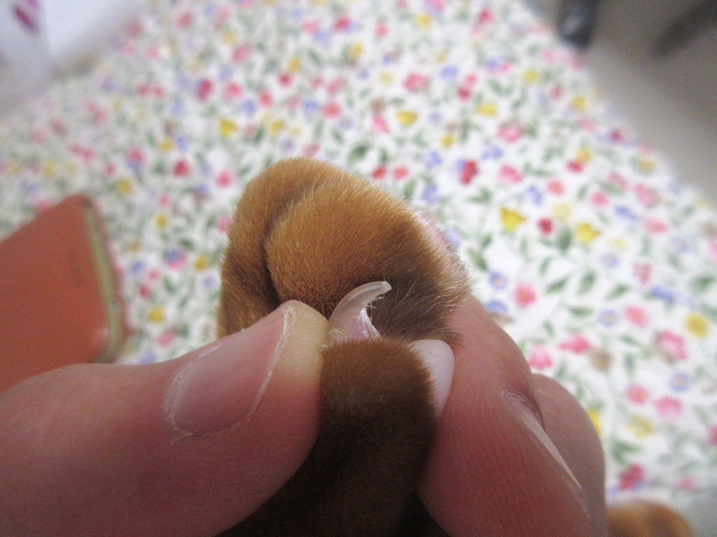 アビのすけに右の小指の爪。