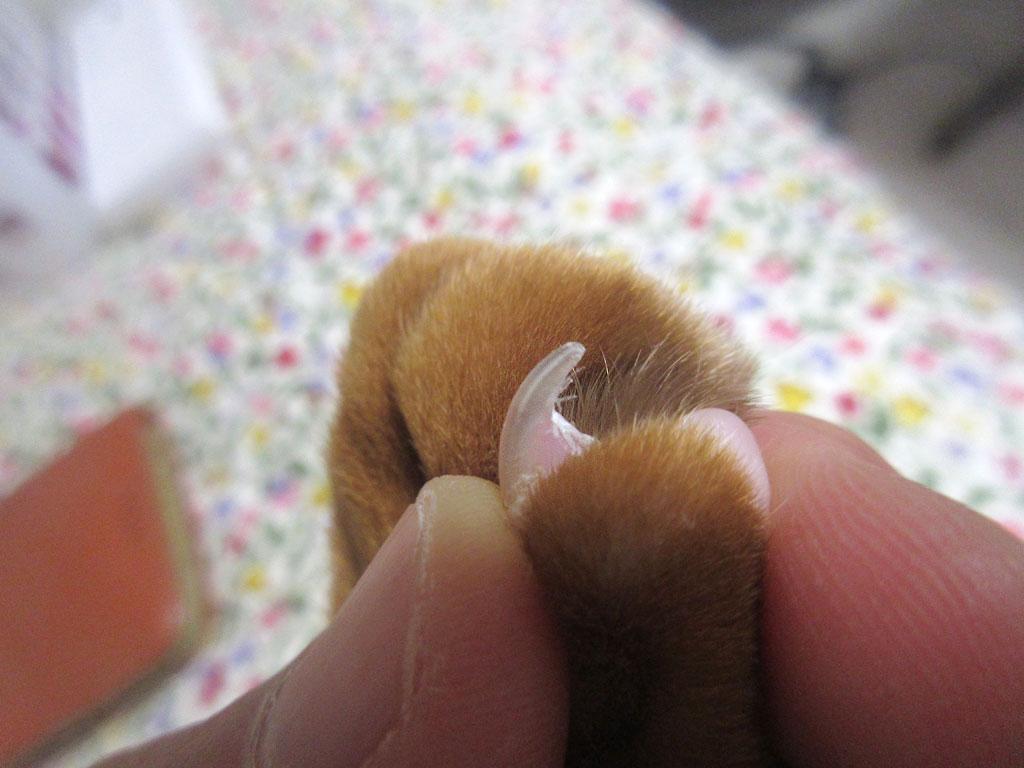 アビのすけの小指の爪。