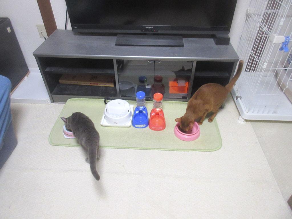 昨晩の猫たちのご飯の風景。