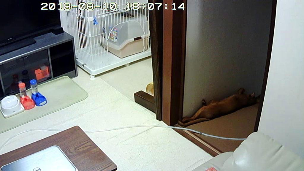 暑い中、寝ているアビのすけ。
