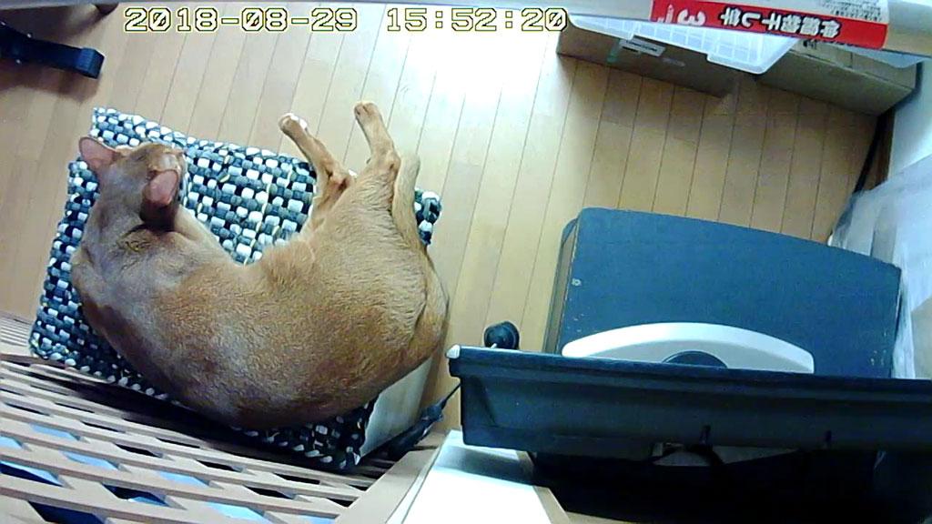横になって寛ぐアビのすけ。