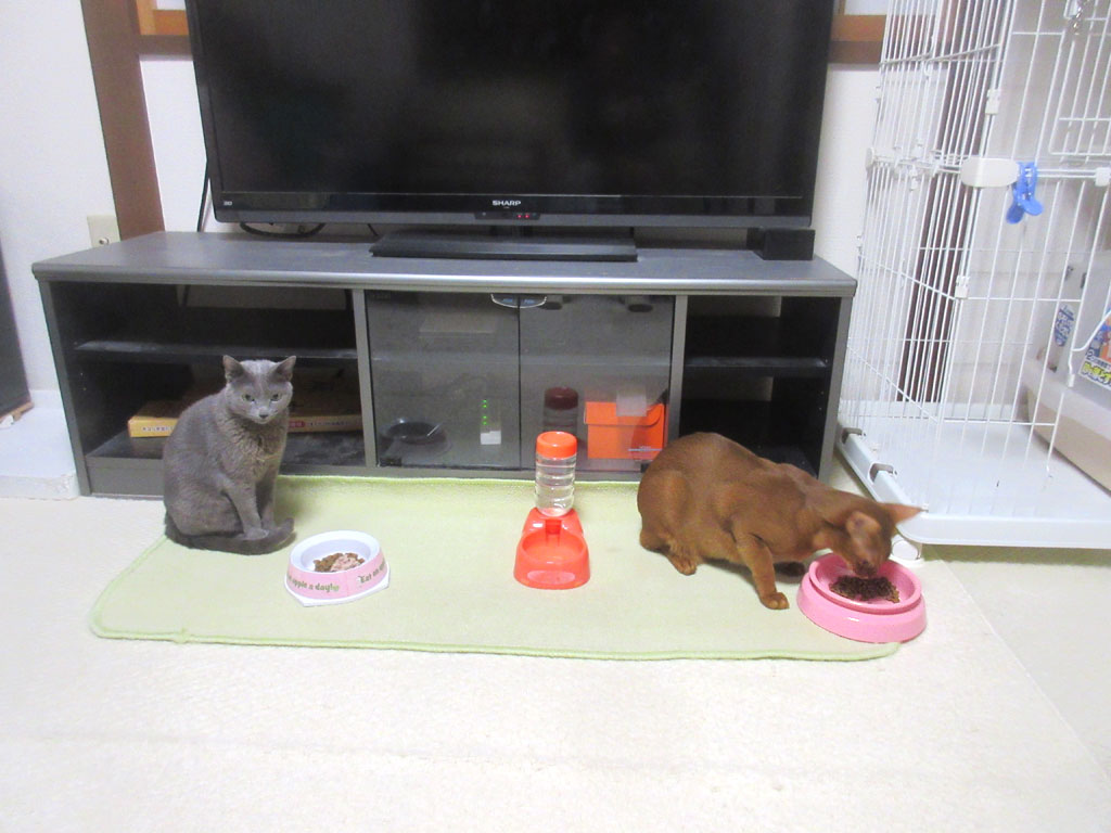猫たちの晩ご飯タイム。