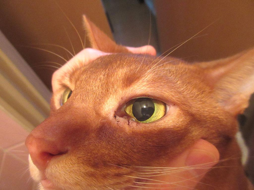 アビのすけの目ヤニ。