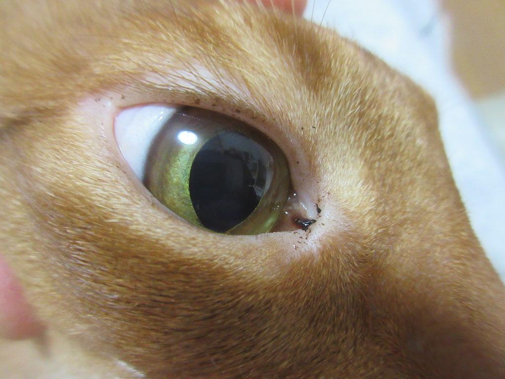両目に目ヤニのアビのすけ。