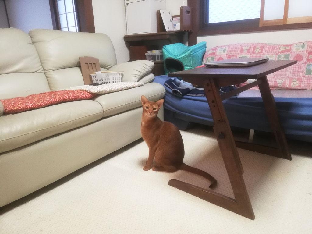 猫らしいポーズのアビのすけ君。